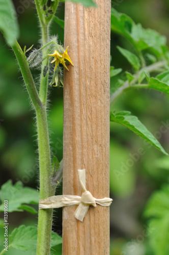 Foto  pied de tomate en fleur attaché par du raphia à un tuteur en bois