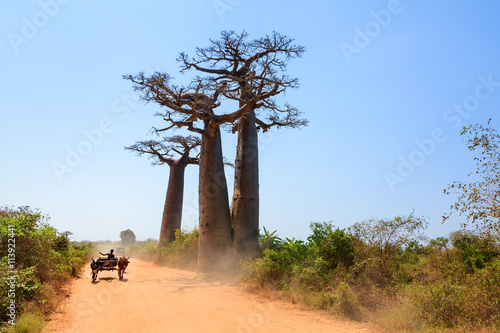 Poster Baobab Very typical image of a Malagasy man with his Zebu car on the road with Baobab trees near Morondava, Madagascar, on September 13, 2013