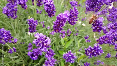 Cadres-photo bureau Violet champs de lavande