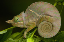 Baudrier's Chameleon (Fucifer Balteatus). Madagascar, Africa.