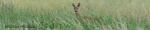 Foto op Canvas Ree Panorama - Ein Reh (Capreolus capreolus) versteckt sich im hohen Gras und sichert die Umgebung