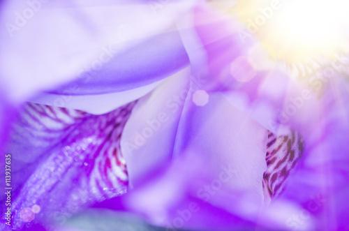 Purple Iris Macro