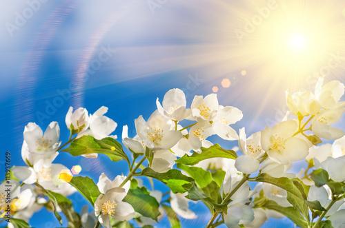 beautiful jasmine flowers Wallpaper Mural