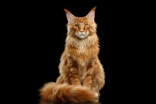 Beautiful Red Maine Coon Cat S...