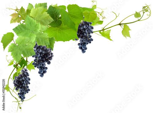Fototapeta grappes de raisin noirs et vigne, fond blanc obraz