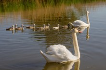 Family Of Swans./Family Of Swans.Mother,father And Eight Cubs. Sail On The Pond.
