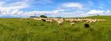 Fototapeta Zwierzęta - Pieniny - wypas owiec