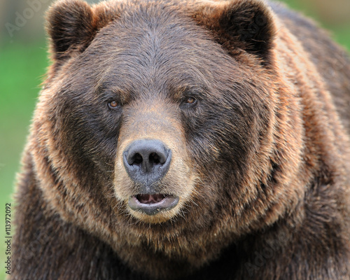 фотография  Alaskan brown bear (grizzly)