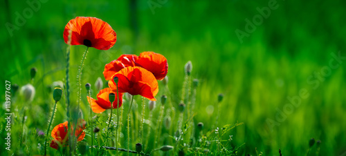 Montage in der Fensternische Mohn Amazing poppy field . Summer flowers .