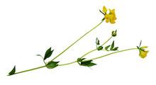 Lotus Corniculatus Flowers And Buds