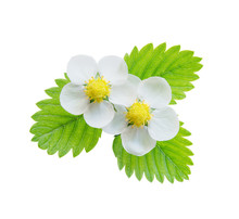 Strawberriy Flowers And Leaves