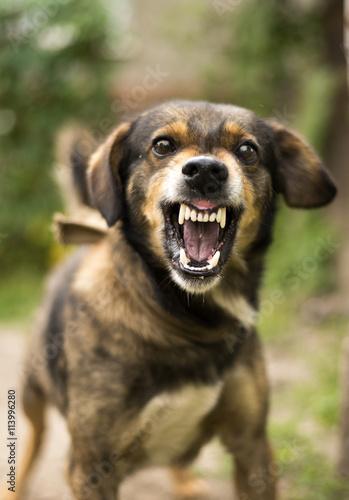 Aggressive, angry dog Wallpaper Mural
