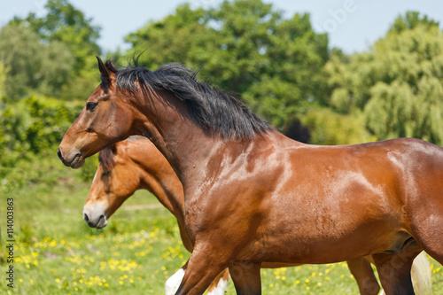 fototapeta na lodówkę Pferde laufen auf bunter Wiese
