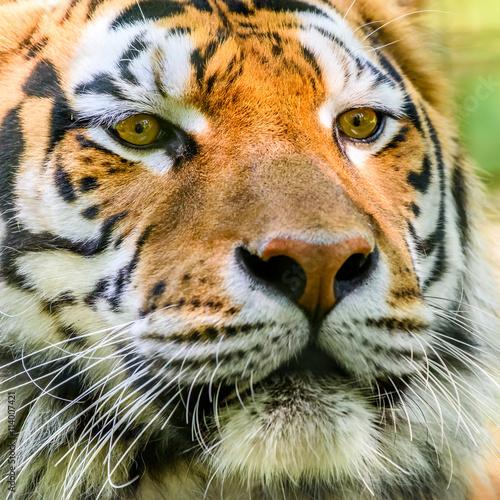 Foto auf AluDibond Tiger Wild Young Tiger (Panthera Tigris) Portrait
