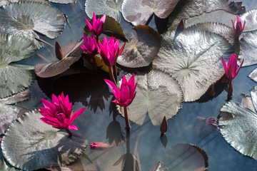 FototapetaLotus and lotus ponds. The lotus pond. There are a lot of lotus leaves. In the park.