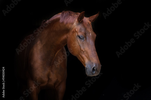 Fototapeta Beautiful red horse portrait on black background obraz