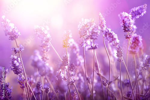 Lavender in sunlight Poster