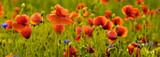 Fototapeta Kwiaty - Panorama z nmaków polnych i kwiatów polnych