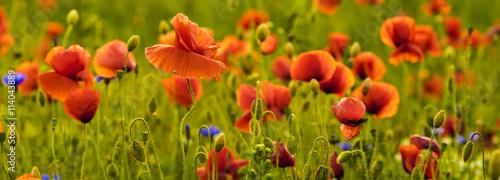 Foto op Canvas Cappuccino Panorama z nmaków polnych i kwiatów polnych