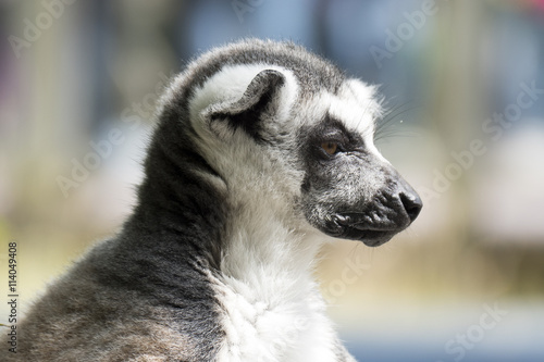Photo  Ring-tailed lemur monkey.