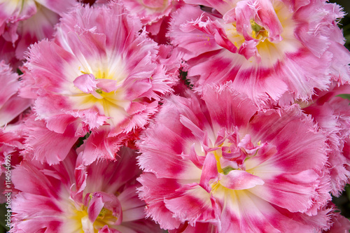 obraz lub plakat Pink tulips background.
