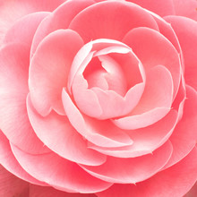 Camellia Flower Background Clo...