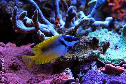 Fotografie, Tablou  Foxface rabbitfish in Tropical aquarium