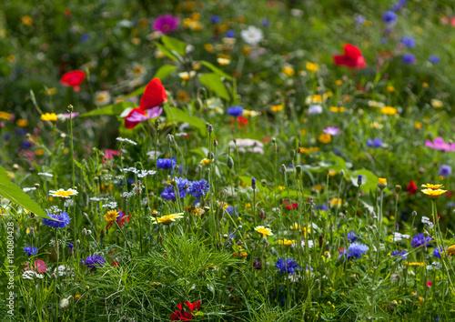 Fototapeta fleurs de jachère obraz