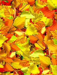 Naklejka autumn leaves of birch