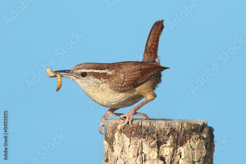 Vászonkép Carolina Wren On A Stump