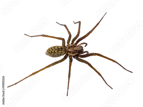 Scary House spider isolated on white