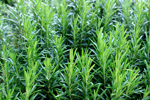 Rosemary herb garden