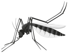 Mosquito In Black And White