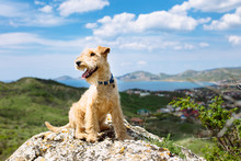 Happy Lakeland Terrier Dog Sit...
