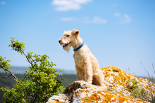 Lakeland Terrier Dog Sitting On A Large Rock On A Background Of Mountains And Blue Sky