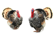 Two Turkey