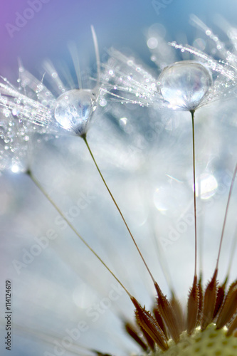 Canvas Prints Dandelions and water Dandelion with drops close-up