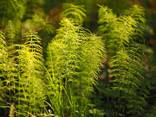 Horsetail In Wood