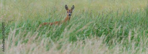 Fotobehang Ree Ein Reh (Capreolus capreolus) versteckt sich im hohen Gras und sichert die Umgebung