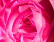 Leinwanddruck Bild - rose