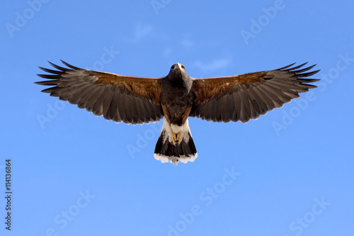 Harris Hawk in flight Canvas Print
