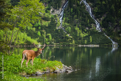 Cadres-photo bureau Cerf Deer stag at the lake in mountains