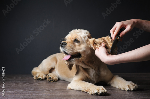 Fotografía  Woman groomer combs Young purebred Cocker Spaniel for a hairstyle in the room