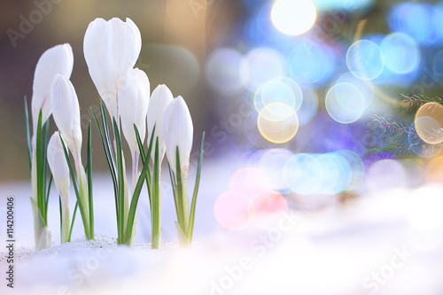 Photo sur Aluminium Crocus snowdrops crocus spring card