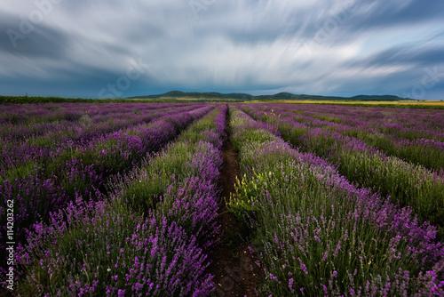 Fototapeta Lavender field at the end of June, near Burgas city, Bulgaria  obraz na płótnie