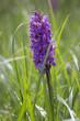 Wilde Orchidee auf der Kanalinsel Jersey, UK
