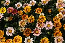 Beauty Full Gazania  Flowers I...