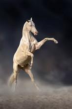 Beautiful Achal Teke Horse Rearing Up Against Dark Background