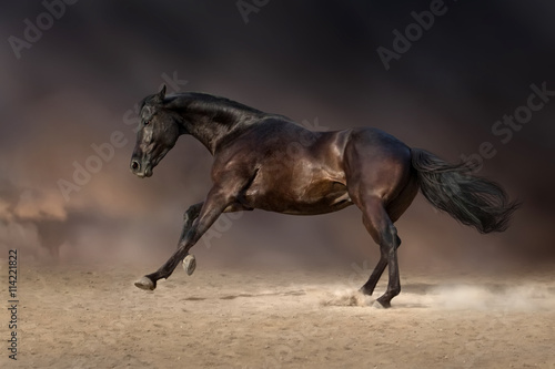 obraz dibond Black stallion run gallop in desert storm