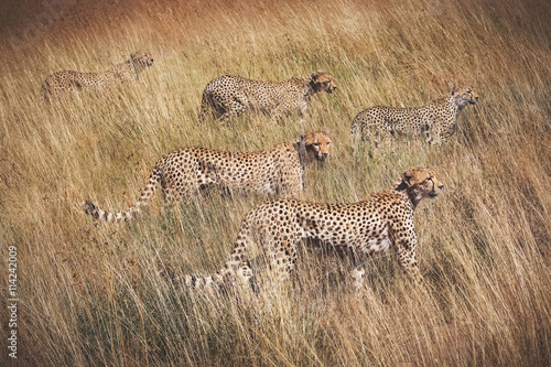 obraz lub plakat Family of cheetahs on the hunt . Serengeti National Park . Tanza